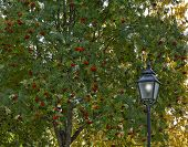 stock photo of rowan berry  - Lamppost this side a rowan - JPG