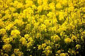 stock photo of rape-seed  - Blooming canola field  - JPG