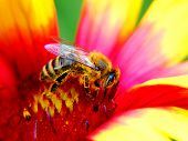 foto of honey-bee  - Honey bee on a colorful flower collecting pollen. ** Note: Soft Focus at 100%, best at smaller sizes - JPG