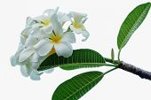 image of frangipani  - Frangipani flower on white background with beautiful - JPG