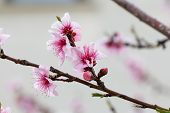 image of apricot  - Apricot blossom. Tree branch with apricot flowers. Blossoming of apricot flowers in spring time with green leaves, natural floral seasonal background.