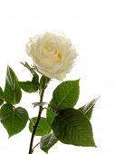 pic of single white rose  - beautiful white graceful delicate fragile fragrant fresh rose on white background vertical - JPG
