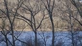 foto of elm  - Leafless Elm and Sycamore Trees along a River Shoreline - JPG