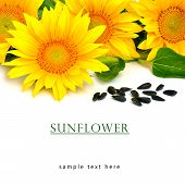 picture of sunflower-seeds  - Bright yellow sunflowers and sunflower seeds isolated on the white background - JPG
