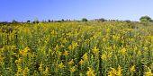 foto of winnebago  - Beautiful yellow flowers bloom in a prairie at Rock Cut State Park  - JPG