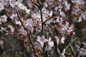 pic of butterfly-bush  - spring blooming with white and pink flowers Bush Apple trees - JPG