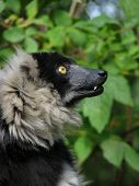 Profile of the ruffed lemur