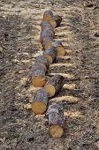 Pile Of Aspen Firewood
