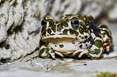 stock photo of amphibious  - Green frog on the garden path in summer - JPG