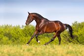 image of running horse  - Bay horse run in spring field at summer day - JPG