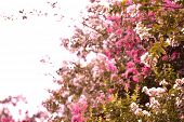 image of crepe myrtle  - Crepe myrtle blooms in morning light - JPG