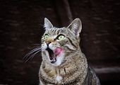 stock photo of licking  - Portrait Of Licking Cat With Green Eyes - JPG