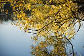 picture of willow  - autumn willow branch hanged over river waters by evening - JPG