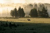 Yellowstone Elk In Fog