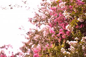 image of crepes  - Crepe myrtle blooms in morning light - JPG