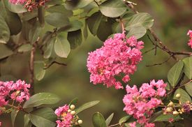 stock photo of crepes  - Pink crepe myrtle blooms closeup in morning light against green background - JPG