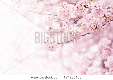 poster of Cherry blossom in full bloom. Cherry flowers in small clusters on a cherry tree branch, fading in to