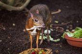 Java mouse-deer (Tragulus javanicus). Wildlife animal.  poster