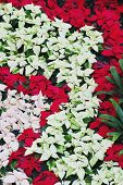 picture of opryland  - Poinsettia - JPG