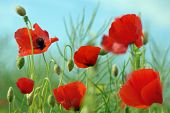 picture of poppy flower  - Poppy - JPG