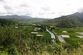 Taro Fields And Mountains