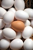 foto of egg whites  - A lone brown eggs sits nestled amongst a batch of white eggs - JPG