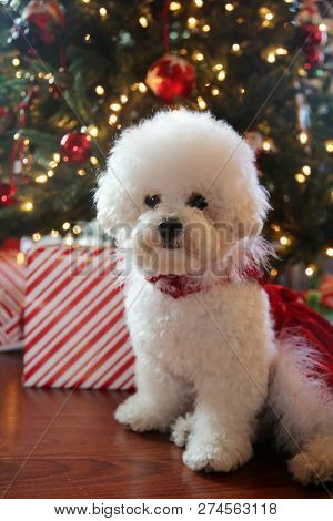 poster of Christmas Dog. Small White Dog in a Red Velvet Christmas Dress.  Bichon Frise Christmas. White Puppy