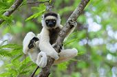 Dancing Sifaka (Lemur)