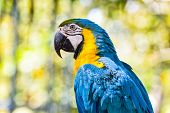 Macaw Birds Parrot / Colorful Of Blue And Yellow Macaw Birds On Branch Tree - Beautiful Parrot Bird  poster