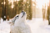 Husky Dog On Snowy Field In Winter Forest. Pedigree Dog Playing With Snowflakes On A Sunset poster