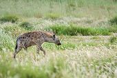 Adult Spotted Hyena Patrolling In Tall Green Grass Scavenging For Food. poster