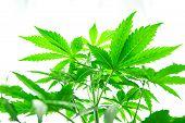 Northern Light Strain. Grow In Grow Box Tent. Planting Cannabis. Marijuana Business. Home Grow Legal poster