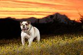 English Bulldog At Arizona Sunset
