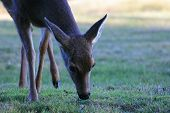 picture of blacktail  - Blacktail doe deer feeding on grass showing mostly head - JPG