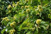 Chestnut Tree with Chestnuts