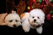 Christmas Dog. Two Bichon Frise dogs on black velvet. Christmas Decorations. Christmas portraits. Cu poster