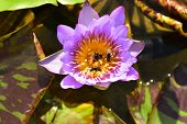 The Violet And Yellow Nelumbo Nucifera Lotus With The Bee In The Water Pool poster