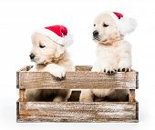 Cute funny golden retriever puppies with new year Santa hats in basket isolated on white background poster