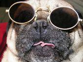 Lustige Mops Hund schließen oben mit Sonnenbrille