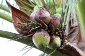 Coconuts Rotten On Tree, Coconut Palm Is Rotten, Coconut Young Rot In Garden Plantation, Coconut Fru poster