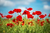 Flowers Red Poppies Blossom On Wild Field. Beautiful Field Red Poppies With Selective Focus. Soft Li poster