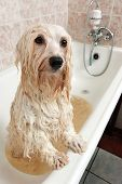 picture of bathing  - A wet cream havanese dog is bathing in a tube and looking to camera - JPG