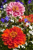 stock photo of lobelia  - Bright colored zinnias and lobelia in the summer garden - JPG