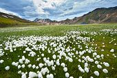 Field of cotton grass in a valley surrounded by rhyolite mountains at Landmannalaugar, Iceland
