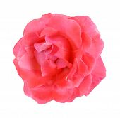Single Pink Rose Close