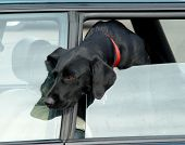 Dog In Car Window
