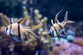 Banggai Cardinalfish In A Aquarium (pterapogon Kauderni)