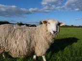 A Romney Ewe