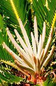 Sago Palm Young Shoots Close Up