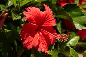 The Hibiscus Flower